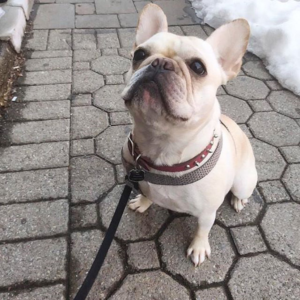 Frenchie French Buldog