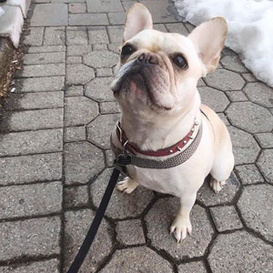 French Bulldog SNIFF Dog Walkers