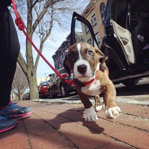 Boxer Puppy Walker Hoboken